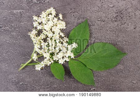 Elderberry Flowers With Leaves On Structure Of Concrete