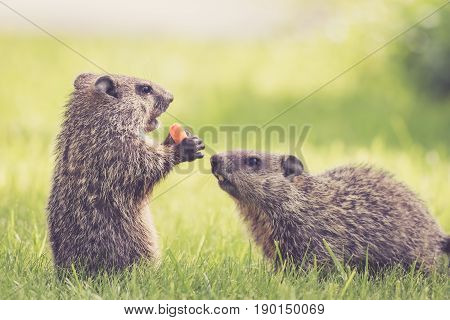 Two baby groundhogs (Marmota Monax) with carrot to share