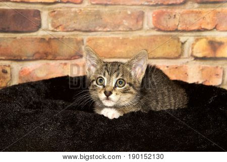 Portrait of a small tabby kitten laying in a black fuzzy bed with brick wall background looking to viewers left with a slightly worried concerned expression.