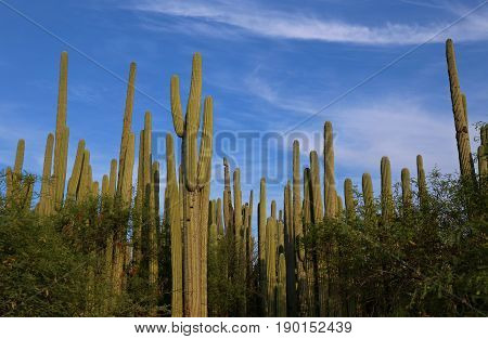 Cactus Forest in the Jardin Botanico Helia Bravo Hollis, Mexico