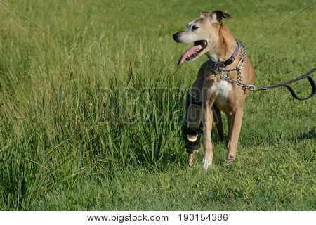 Older boxer mixed breed boxer dog with white face hair and coat wearing orthotic brace device out for a walk on a hot summer day