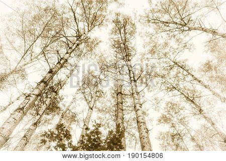 Tall aspens trees with tree trunks and treetops in sepia tone in forest. Algonquin Provincial Park, Canada.