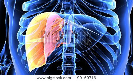 3d illustration human body liver of a human body part