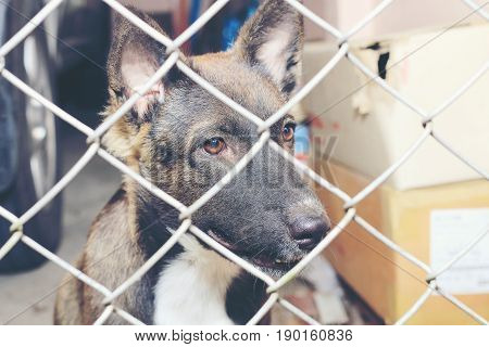 Thai Dog  In The Jail, Sad Looking Dog Behind The Fence Looking Out Through The Wire Of His Cage, Bo