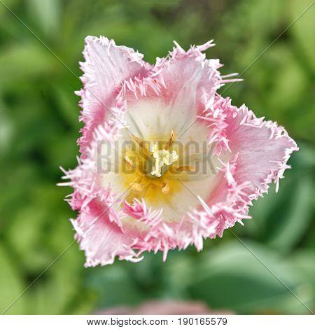 Terry Tulip