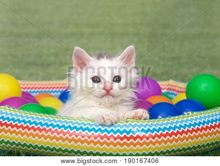 Portrait of one small fluffy white kitten with puff of brown fur on top of head sitting in a small blow up swimming pool with colorful plastic balls on grass with background grass. Fun summer theme
