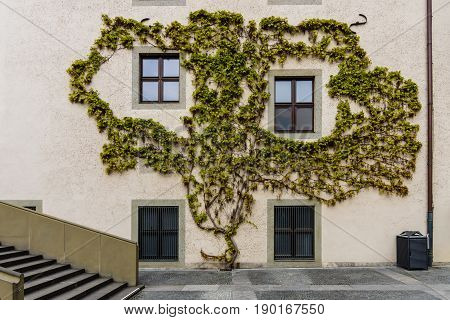 The wall of the house is covered with ivy (Hedera helix).