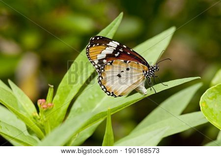 Female Plain tiger (Danaus chrysippus) butterfly on a green leaf