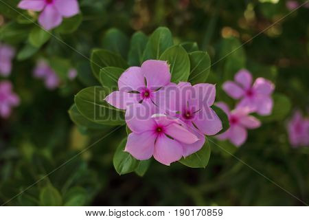 Close up view of purple Catharanthus roseus flowers. Pink Wildflower Madagascar periwinkle Vinca flower