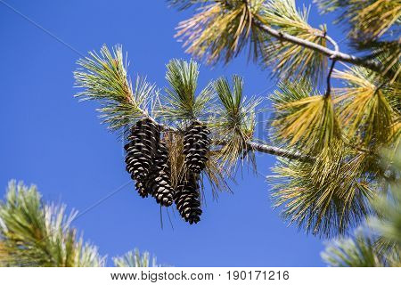 Long pine cone on tree branch against the blue sky. Himalayas Nepal . Close up