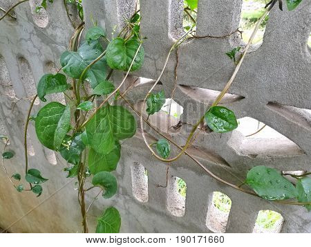 Ceylon Spinach grow on the concrete wall