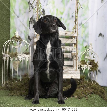 Black cross-breed dog sitting, in pastoral decoration
