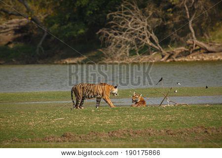 Tiger Cubs Aggression