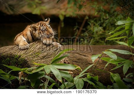 Young tiger female in a beautiful place in india/wild animal in the nature habitat/India/big cats/endangered animals/close up with tigress poster