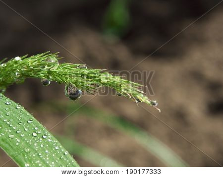 Closeup of grass spikes and leaf with water drop after rain or morning dew.