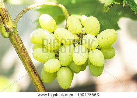 Green grape with leaves. Close-up image of ripe sweet and tasty white grape bunch on the vine. Juicy white grape clusters fresh fruits.