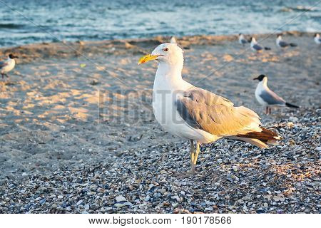 Sea gull standing on his feet on the beach at sunset. Close up view of white birds seagulls walking by the beach against natural blue water background. A seagull staring at the camera.