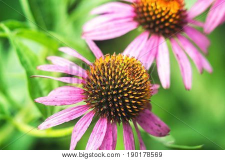 Echinacea purpurea (eastern purple coneflower). Bunch of healing coneflowers. Echinacea Purpurea Maxima in a garden against green background, flowers in bloom closeup. Medicinal plant.