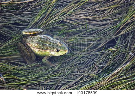Marsh frog in pond full of weeds. Green frog Pelophylax esculentus sitting in water closeup.