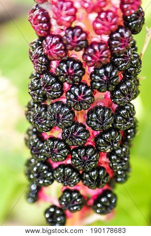 Pokeweed (Phytolacca americana). Poisonous plant is used in medicine. Toxic American pokeweed berries, lakonos. Deadly flowers, plants.