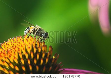 Hoverfly, flower fly, syrphid fly. Eupeodes luniger collects nectar from the pink flower. Mimicry of wasps and bees. Macro photo. Natural background.
