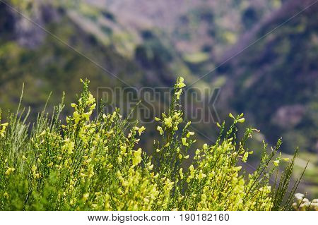 Yellow Hypericum Growing In Mountains On Madeira Island