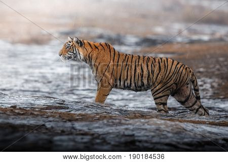 Tiger in the nature habitat. Tigers walking, resting, playing head on composition. Wildlife scene with danger animal. Hot summer in Rajasthan, India. Dry trees with beautiful indian tiger, Panthera tigris