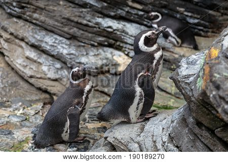 African Penguin, Spheniscus Demersus, Also Known As The Jackass Penguin