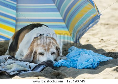 Old dog resting on towels on a sandy beach