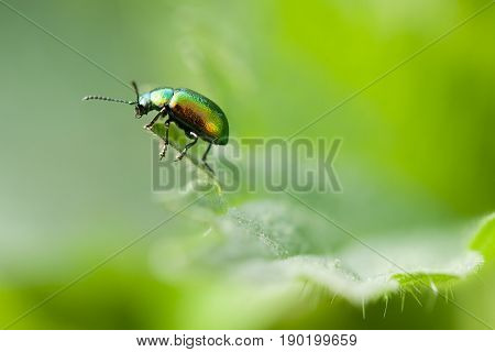 Green Rose Chafer (Cetonia Aurata) On Beautiful Green Background Plant Leaf Outdoor.