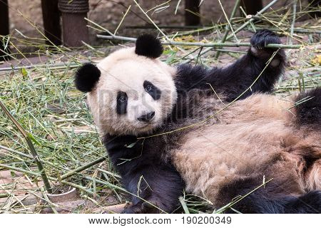 cloesup of the cute giant panda in zoo charmingly naive