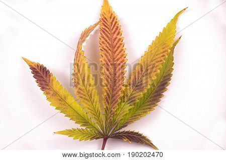 Single marijuana (cannabis sativa) leaf isolated over white background with green, brown and yellow coloring