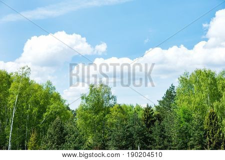 Natural summer background with birch tree branches. Green foliage swaying in the wind on sunny day. Blue sky with fluffy clouds.