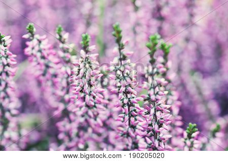 Violet Heather flowers field Calluna vulgaris. Small pink lilac plants, white background. soft focus. copy space shallow depth of field. Selective focus photo.