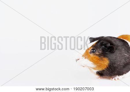 Cute tricolor Guinea pig with curious expression on white background with place for text.