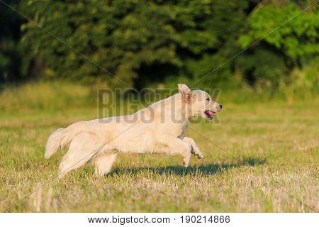 Beauty Golden Retriever Run At Training