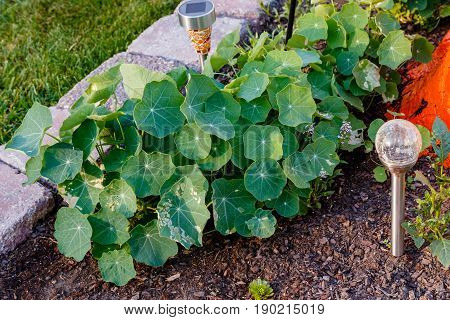 from seeds the nasturtium's are growing larger must be the fertilizer