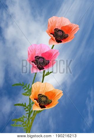 View of three poppies on a sky blue background