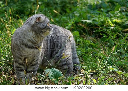 Gray pedigree cat among the leaves and grass in the summer garden