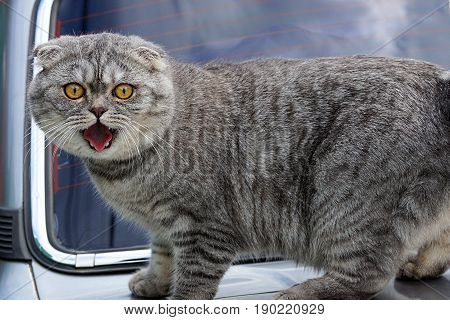 Gray cat on the hood of the machine with open mouth