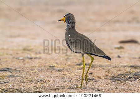 Wattled lapwing in Kruger national park, South Africa ; Specie Vanellus senegallus family of Charadriidae