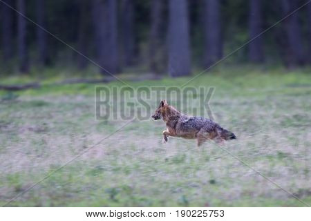 Jackal Running In Forest