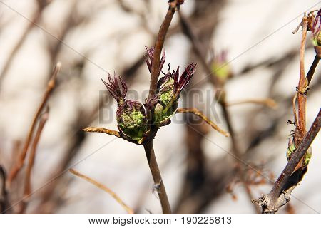 A young branch of a rowan tree with fresh young green leaves blossoming with the arrival of spring.