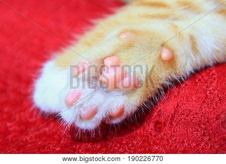 cat orange. kitten showing pink paw on red background