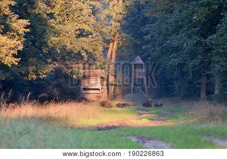 Wild Boar Herd In Forest