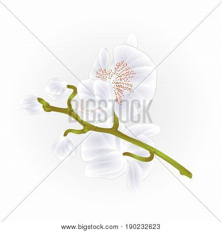 Beautiful Orchid Phalaenopsis stem with White flowers and buds closeup isolated vintage vector illustration hand draw
