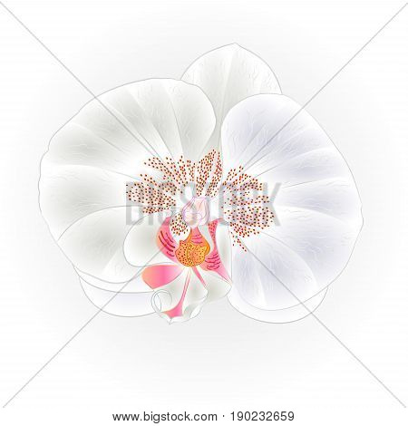 Beautiful White Orchid flower Phalaenopsis closeup isolated vintage vector illustration hand draw