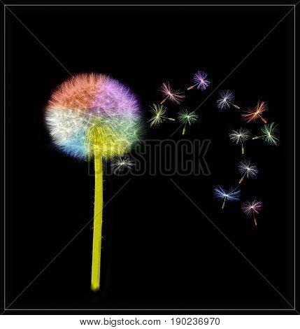 Multi coloured Dandelion on a black background