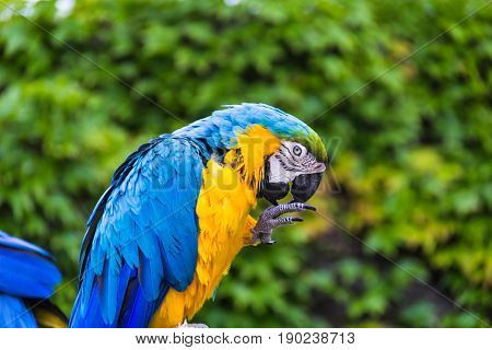 Photo of a blue and yellow parrot scratching a paw