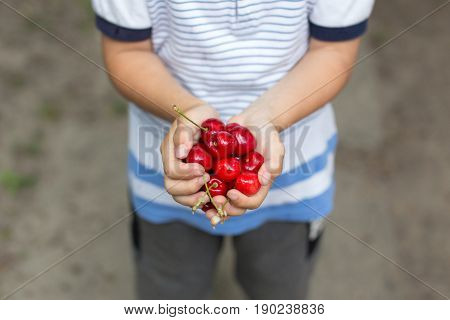 Little boy hands holding fresh cherry outdoor